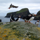 Henry and the Puffins